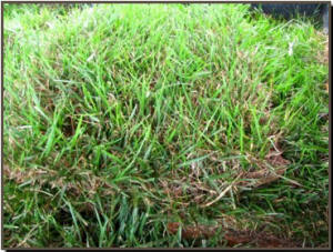 This is a close up of Fescue harvested and ready to use!